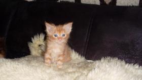 Foto 5 Maine Coon Kitten Langstteich's