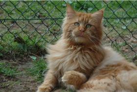 Foto 6 Maine Coon Kitten Langstteich's