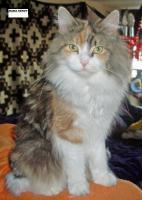 Foto 7 Maine Coon Kitten Langstteich's