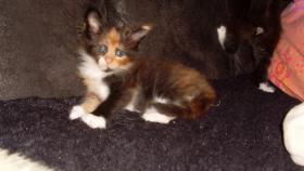 Foto 8 Maine Coon Kitten Langstteich's