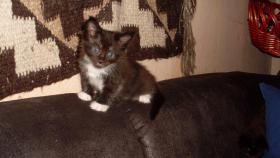 Foto 9 Maine Coon Kitten Langstteich's