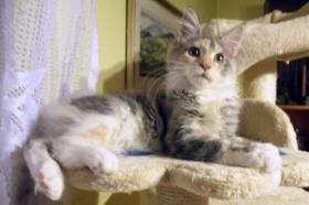 Maine Coon Kitten mit Papiere
