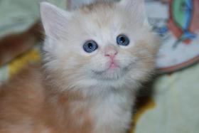 Foto 6 Maine Coon Kitten mit Papieren...