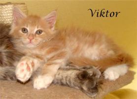 Foto 2 Maine Coon Kitten mit Papieren ab 300€