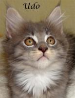 Foto 4 Maine Coon Kitten mit Papieren ab 300€