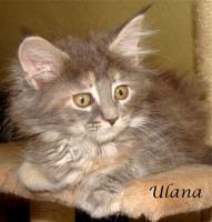 Foto 6 Maine Coon Kitten mit Papieren ab 300€