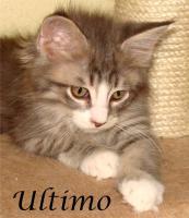 Foto 8 Maine Coon Kitten mit Papieren ab 300€