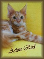 Foto 6 Maine Coon Kitten mit Stammbaum