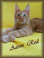 Foto 3 Maine Coon Kitten mit Stammbaum