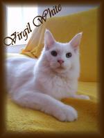 Foto 4 Maine Coon Kitten mit Stammbaum