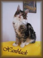 Foto 5 Maine Coon Kitten mit Stammbaum