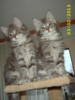 Maine Coon Kitten mit Stammbaum abzugeben