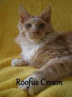 Foto 5 Maine Coon Kitten mit Staubaum