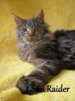 Foto 6 Maine Coon Kitten mit Staubaum