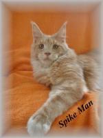 Maine Coon Kitten mit Staubaum