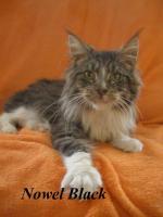 Foto 7 Maine Coon Kitten mit Staubaum