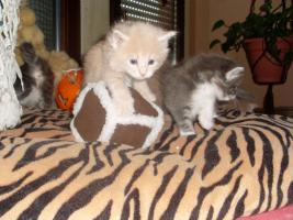 Foto 2 Maine Coon Kitten XXL
