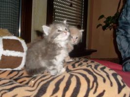 Foto 3 Maine Coon Kitten XXL