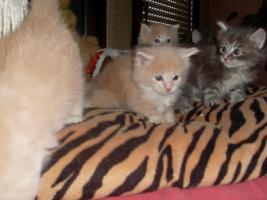 Foto 4 Maine Coon Kitten XXL
