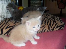 Foto 5 Maine Coon Kitten XXL