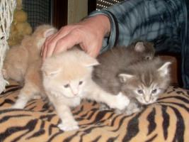 Foto 6 Maine Coon Kitten XXL