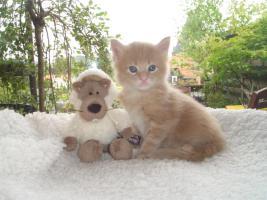 Foto 2 Maine Coon Kitten und Youngstars