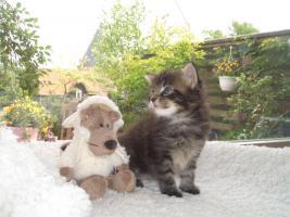 Foto 3 Maine Coon Kitten und Youngstars