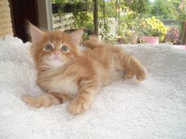 Foto 4 Maine Coon Kitten und Youngstars