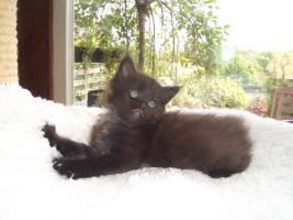 Foto 5 Maine Coon Kitten und Youngstars
