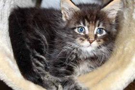 Maine Coon Kitten abzugeben