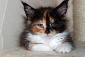 Foto 4 Maine Coon Kitten abzugeben