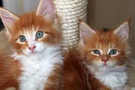 Foto 5 Maine Coon Kitten abzugeben