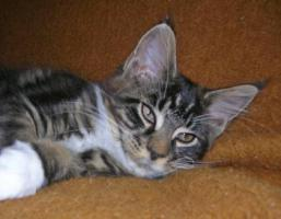 Foto 2 Maine Coon Kitten abzugeben