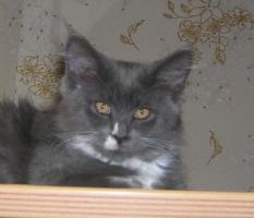 Foto 3 Maine Coon Kitten abzugeben