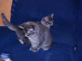 Maine Coon Kitten in blue-silver