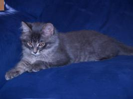 Foto 2 Maine Coon Kitten in blue-silver