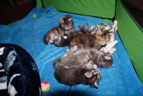 Maine Coon Kitten aus kleiner Hobbyzucht zu verkaufen
