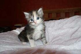 Foto 2 Maine Coon Kitten aus kleiner Hobbyzucht zu verkaufen
