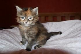 Foto 3 Maine Coon Kitten aus kleiner Hobbyzucht zu verkaufen