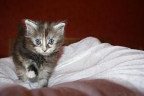 Foto 4 Maine Coon Kitten aus kleiner Hobbyzucht zu verkaufen
