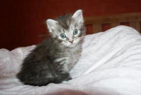 Foto 5 Maine Coon Kitten aus kleiner Hobbyzucht zu verkaufen
