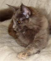 Maine Coon Kitten m.P