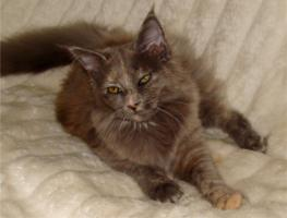 Foto 2 Maine Coon Kitten m.P