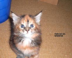 Maine Coon Kitten reinrassig mit Papieren