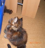 Foto 2 Maine Coon Kitten reinrassig mit Papieren