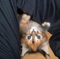 Foto 3 Maine Coon Kitten reinrassig mit Papieren