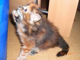 Foto 4 Maine Coon Kitten reinrassig mit Papieren