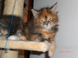 Foto 6 Maine Coon Kitten reinrassig mit Papieren