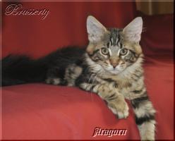 Maine Coon Kitten suchen ein Zuhause