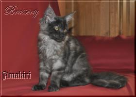 Foto 4 Maine Coon Kitten suchen ein Zuhause